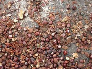 Chestnuts accumulated on a Portland sidewalk. Photo credit: Mike Kuniavsky, flickr.com Creative Commons