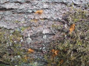 Fine cinnamon-colored sawdust indicates bark beetle activity