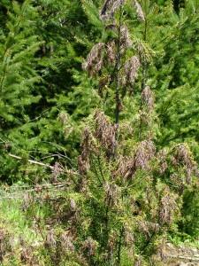 herbicide damage 3