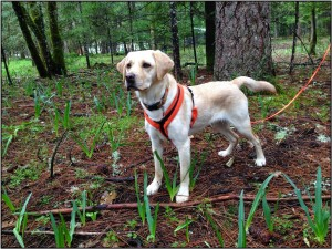 Marilyn Richen's dog, Gucci, on a forest truffle hunt (Photo: Jeannine May)