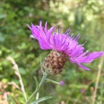 Meadow knapweed, photo by Eric Coombs, OR Dept of Ag, bugwood.org