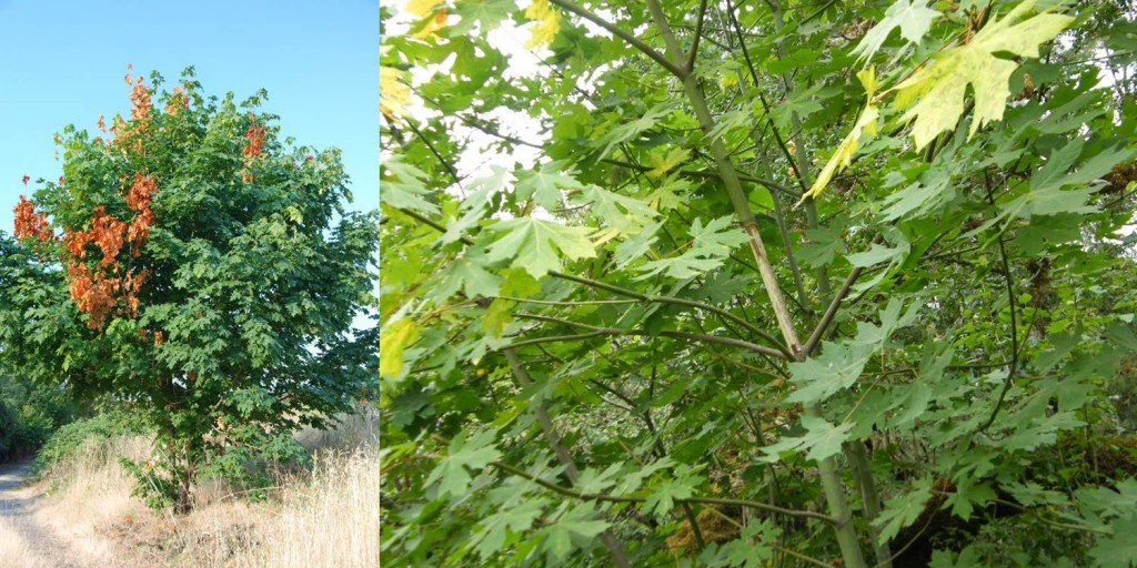 Bigleaf maple with dead branch flagging (left) and showing debarking by squirrels (right)