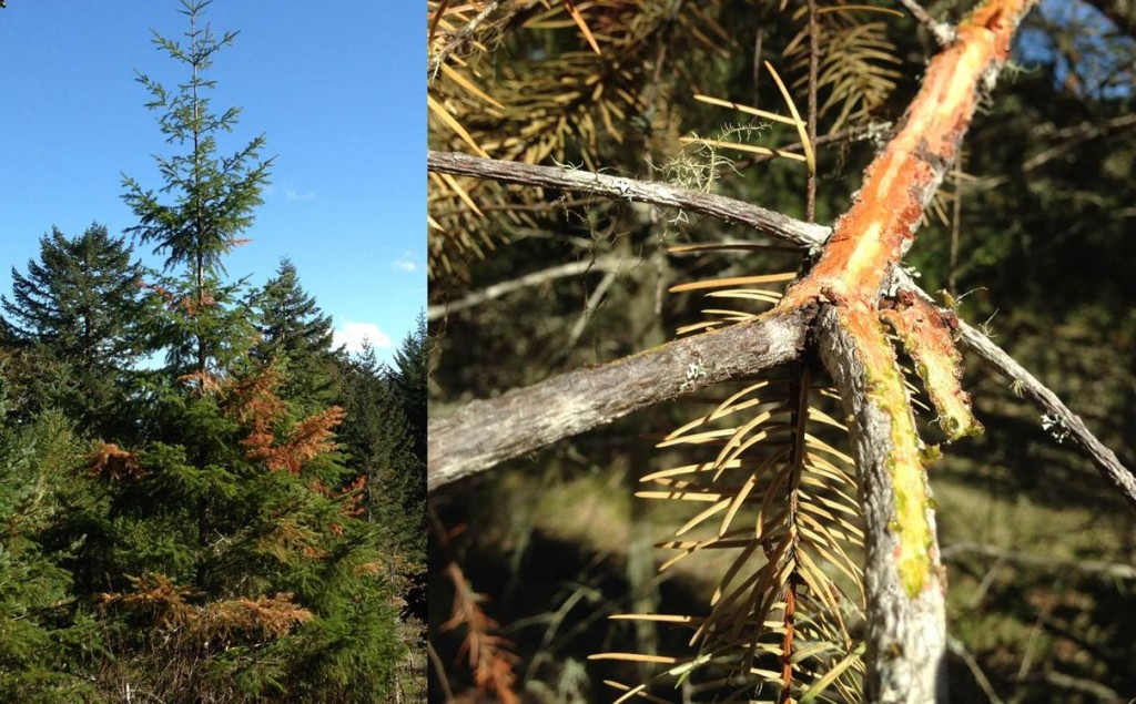 Left: Douglas-fir branch flagging, likely from dought and canker interaction. Right: Douglas-fir canker.  Note the brown dead bark area and green live bark.  Branch is flagging.