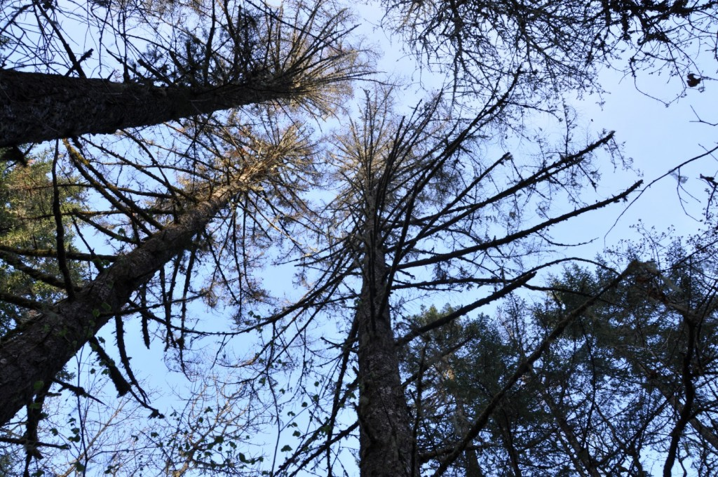 Group mortality of Douglas-fir in May.  Douglas-fir beetle was found in all these trees.  Photo Kara Shaw