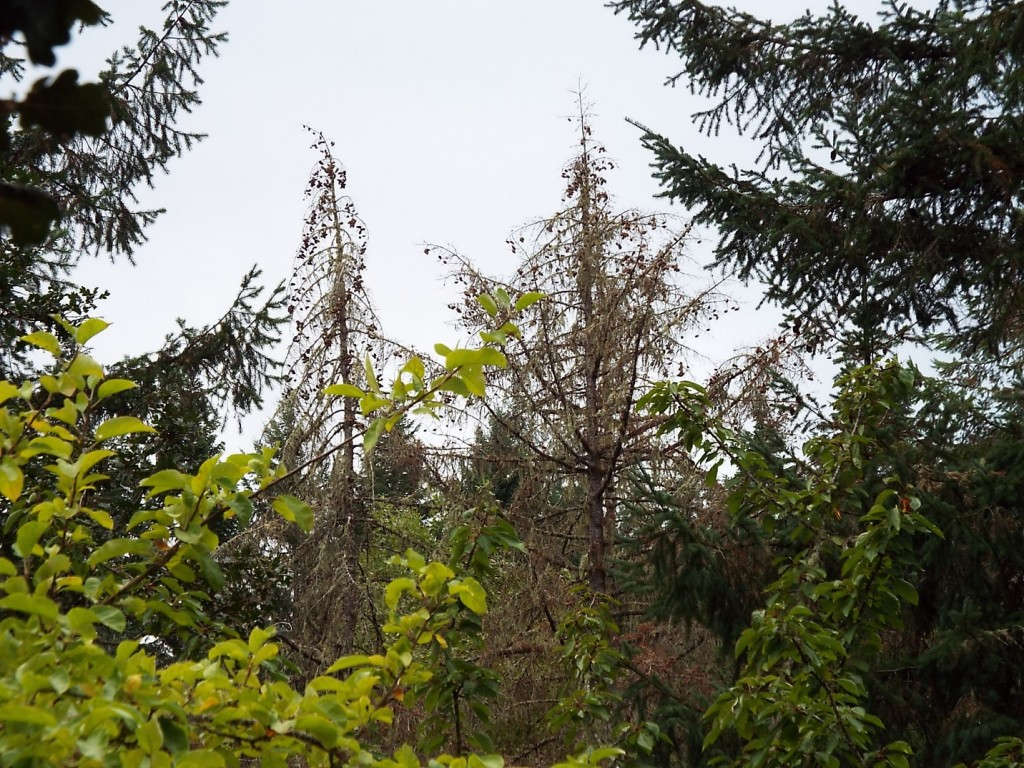 Douglas-fir with stress cone crop.  These cones formed in the previous year, therefore indicating stress beginning in 2014 or earlier.  Photo Kara Shaw.