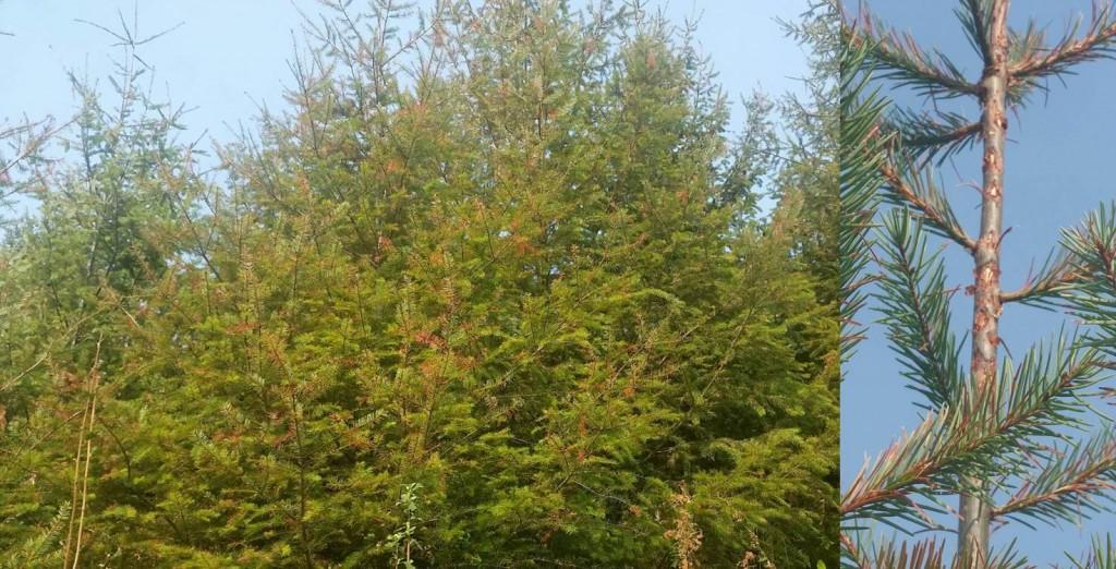 Douglas-fir twig weevil damage.  Whitney Schmike photos.