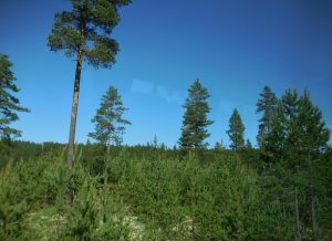 Regeneration of pine with seed tree cuts is common in Sweden and Norway.