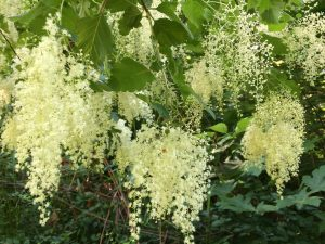 oceanspray flowering