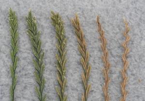 Range of maturity in perennial ryegrass spikes taken from one field (Tom Silberstein photo)