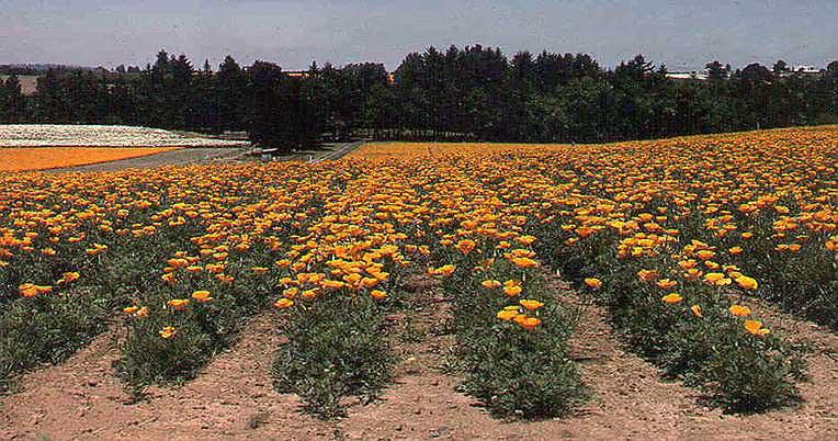 California Poppy-Wildseed Farms