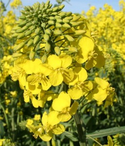 Winter canola flowers and buds (TG Chastain photo)
