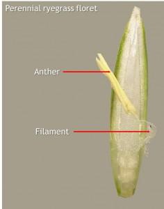 Ryegrass floret