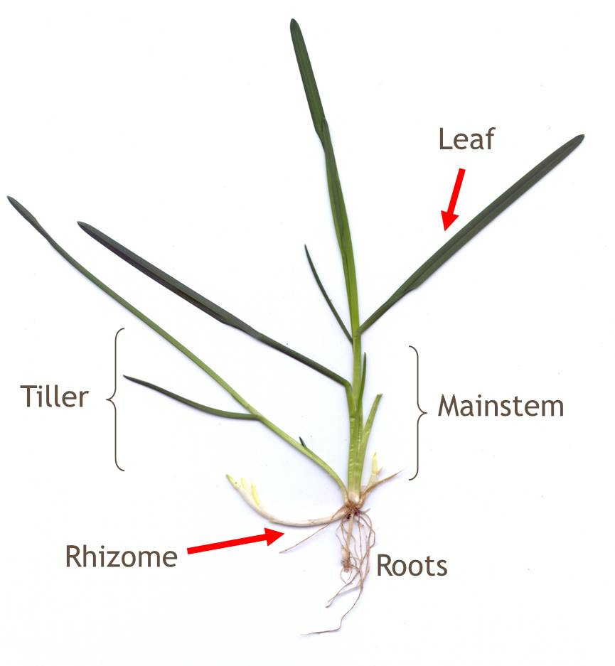 Tillers, Rhizomes, and Stolons - Seed Production