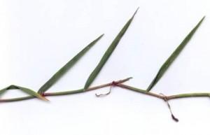 Figure 3.  Grass stolon (T.G. Chastain photo).