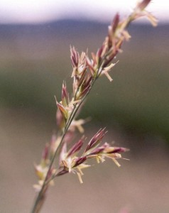 Strong creeping red fescue in flower (T.G. Chastain photo)