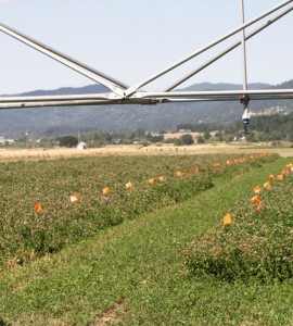 Red clover irrigation trials at Hyslop Farm (TG Chastain photo)