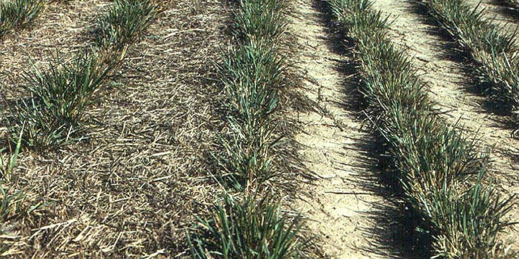 Residue management in tall fescue - full straw load (left), clean non-thermal (right).  TG Chastain photo.