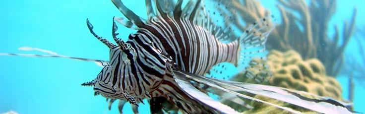lionfish_crop