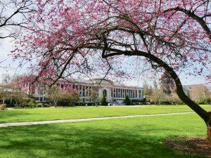 Cherry trees blooming on OSU's MU Quad