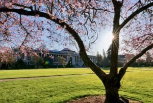 Cherry tree blooming on MU Quad