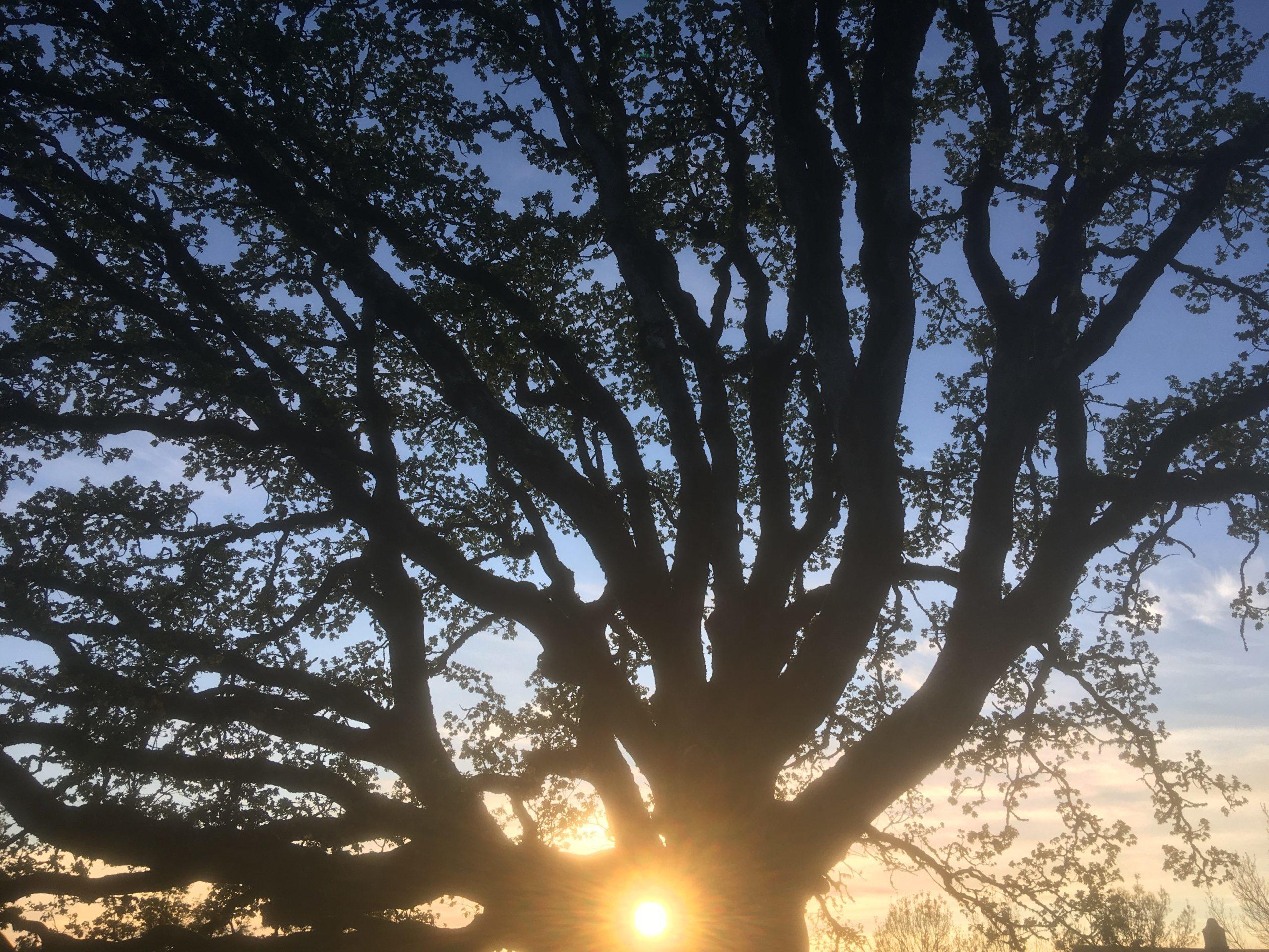 oak tree and setting sun