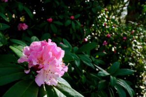 Rhododendron blossoms on MU Quad