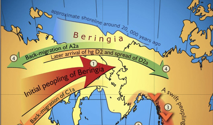 Illustration of the Beringia gene flow map.