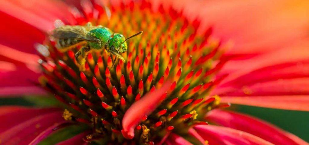 Metallic bee (bright green) on orange cone flower