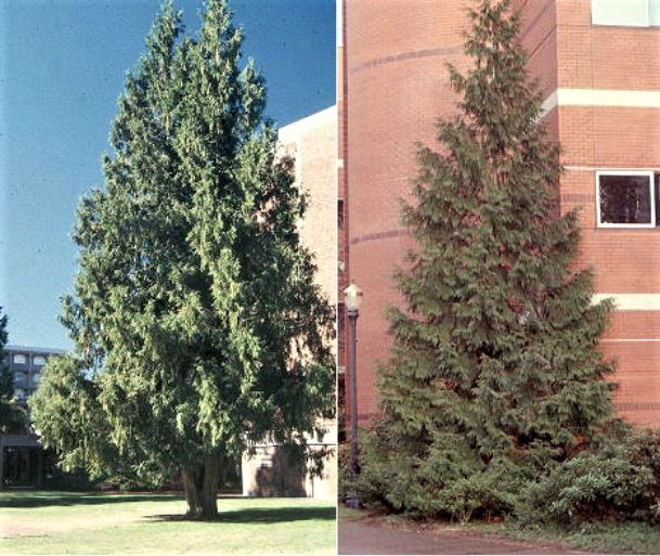 Two Western Red Cedars at the Oregon State University campus