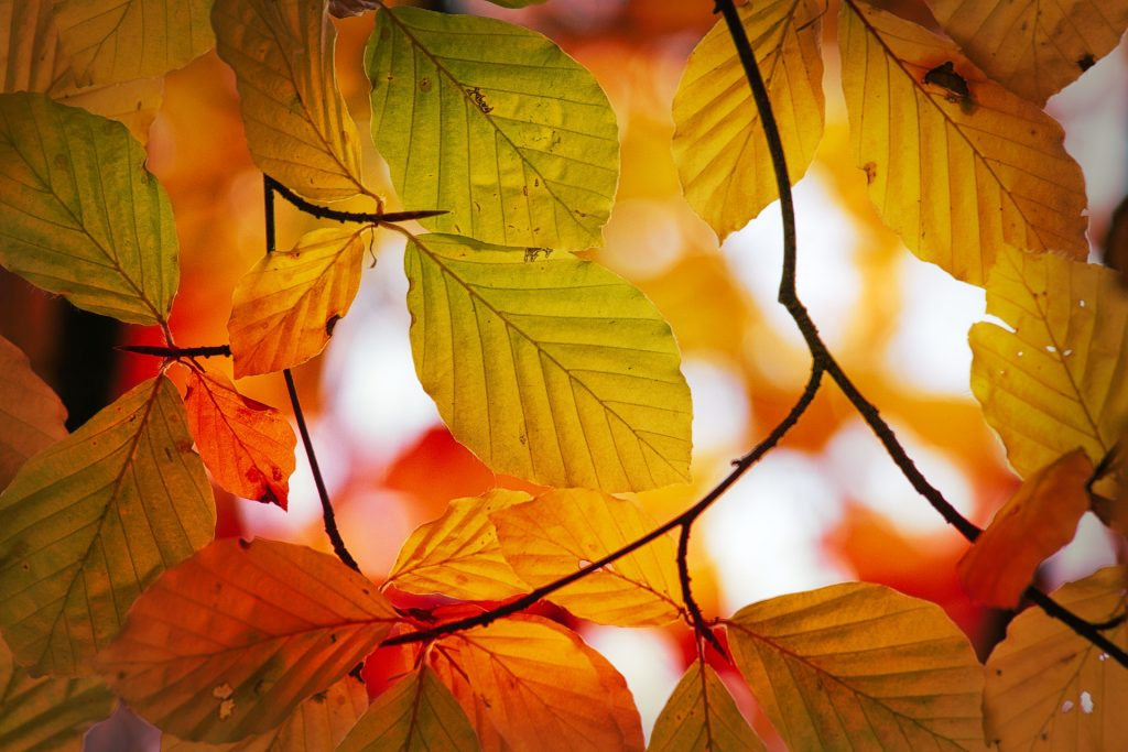 Sunshining through branches of beech tree, illuminating call colors of leaves