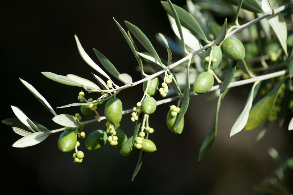 Branch with olives hanging from the branch