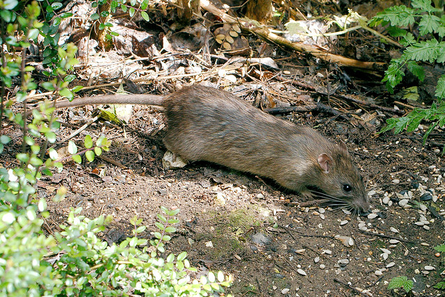 A brown rat eating seeds from ground.
