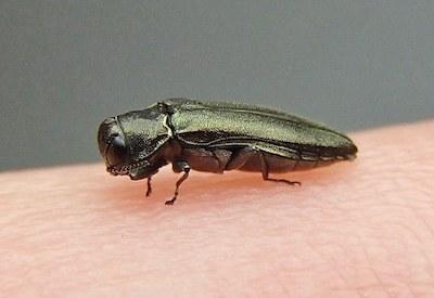 Woodboring beetle, NCIP, OSU