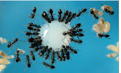 Fig 1. Odorous house ant, Tapinoma sessile, feeding at a liquid commercial ant bait such as Terro. Whitish objects are ant pupae, the life stage between larva and adult.