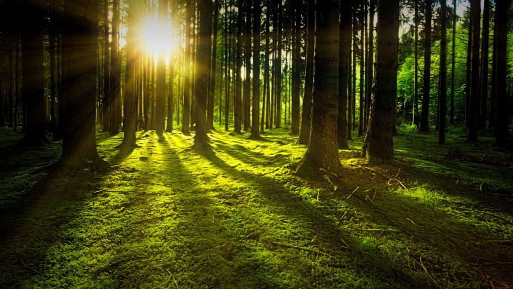 Sunshine streaming through trunks of trees in a forest.