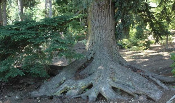 Base of large, mature tree, with many exposed tree roots, above the soil level.