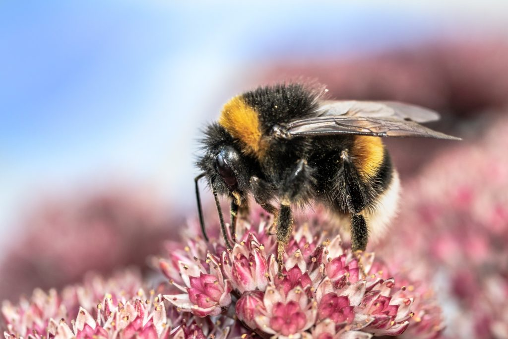 Bumblebee on heath blossoms