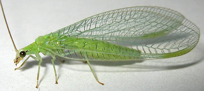 Green Lacewing insect.