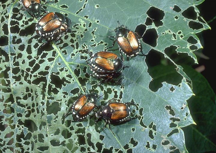 Several Japanese beetles on a leaf that has scattered holes.