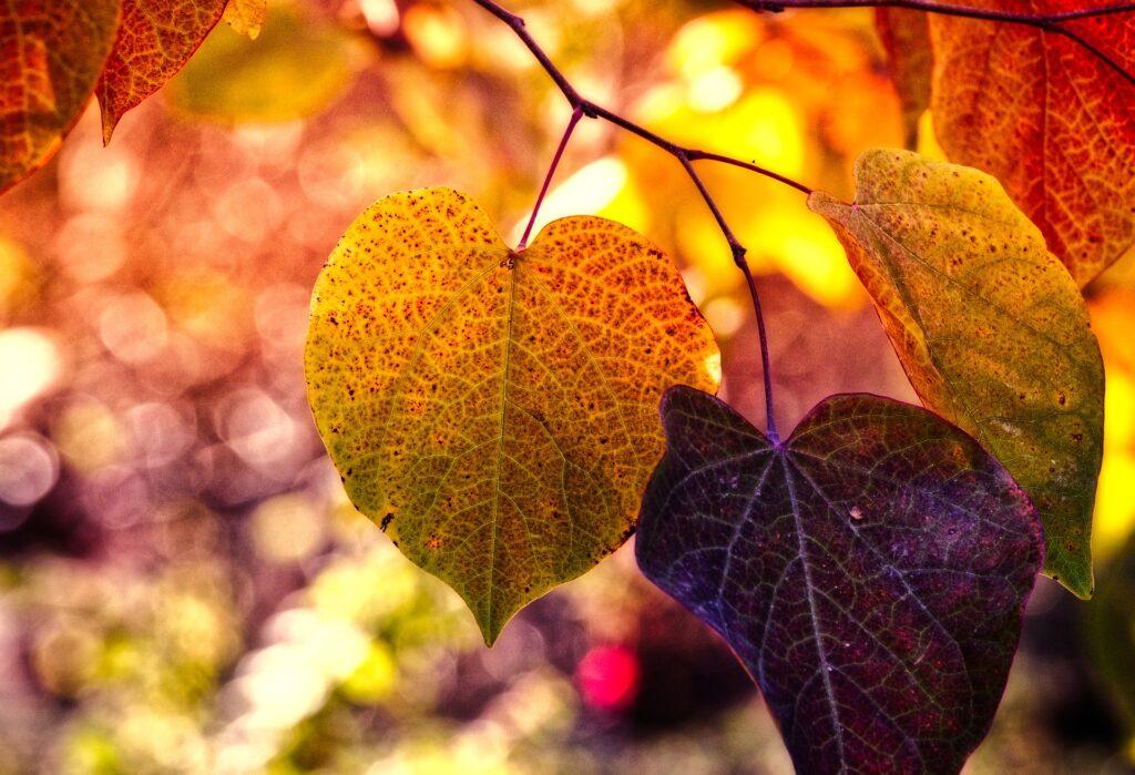 Jewel colored autumn leaves on tree.