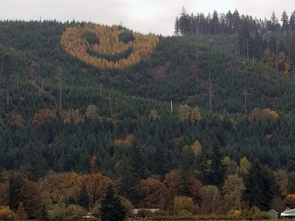 Golden foliage of larch trees in forest of evergreen trees form a smiling face in the midst of the dark green foliage of the evergreen trees.