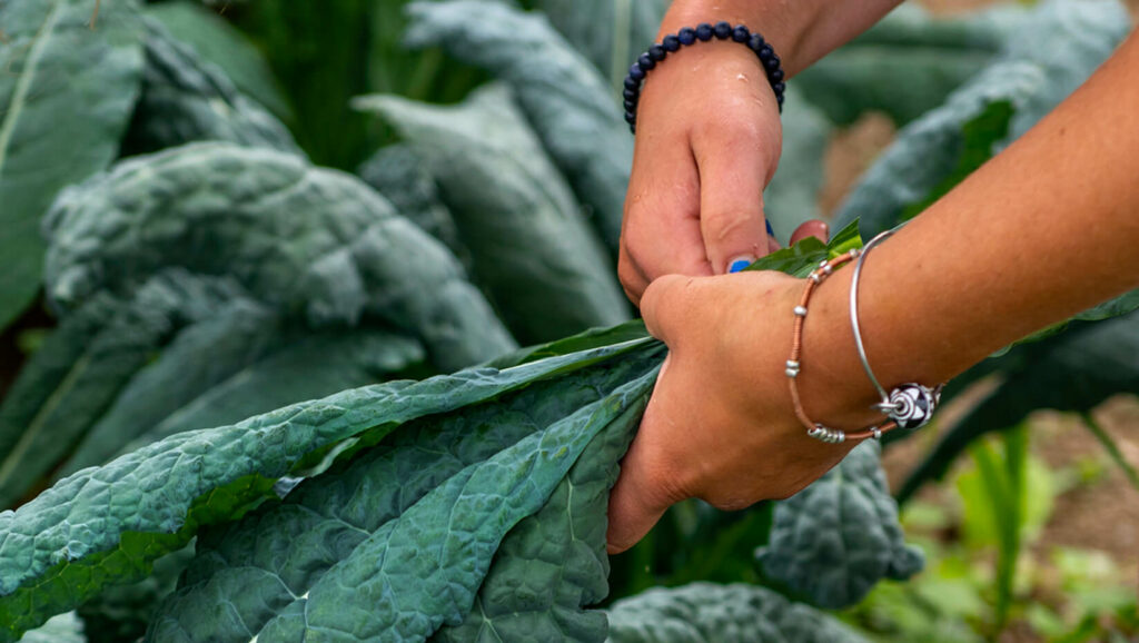 Hands harvesting greens.
