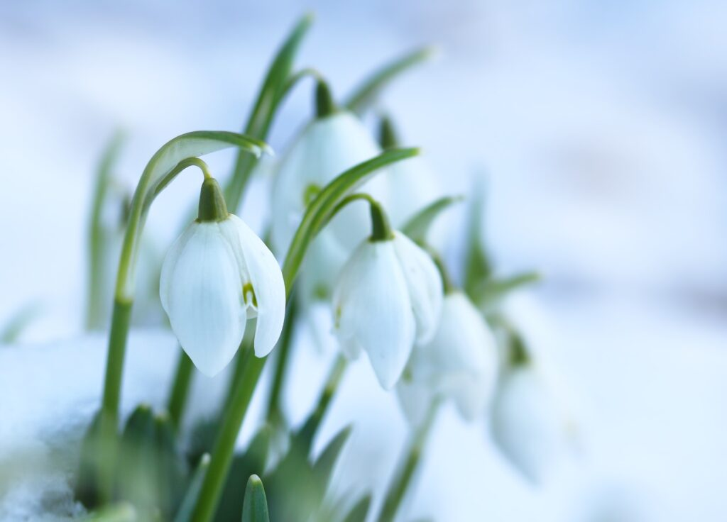 Snowdrop flowers emerging out of snow.