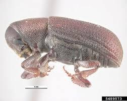 Doug fir beetle