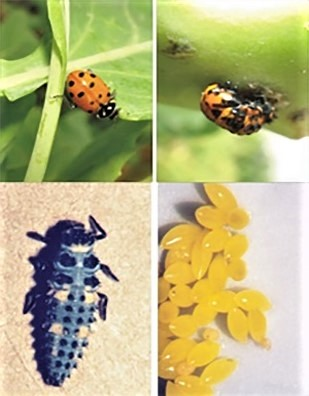 Four photos show life cycle of Lady Beetle (Hippodamia convergens). Egg stage, larva stage, pupa stage, adult stage.