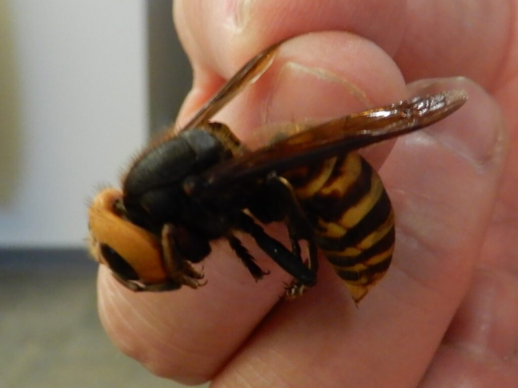 Asian giant hornet being held between a thumb and forefinger.