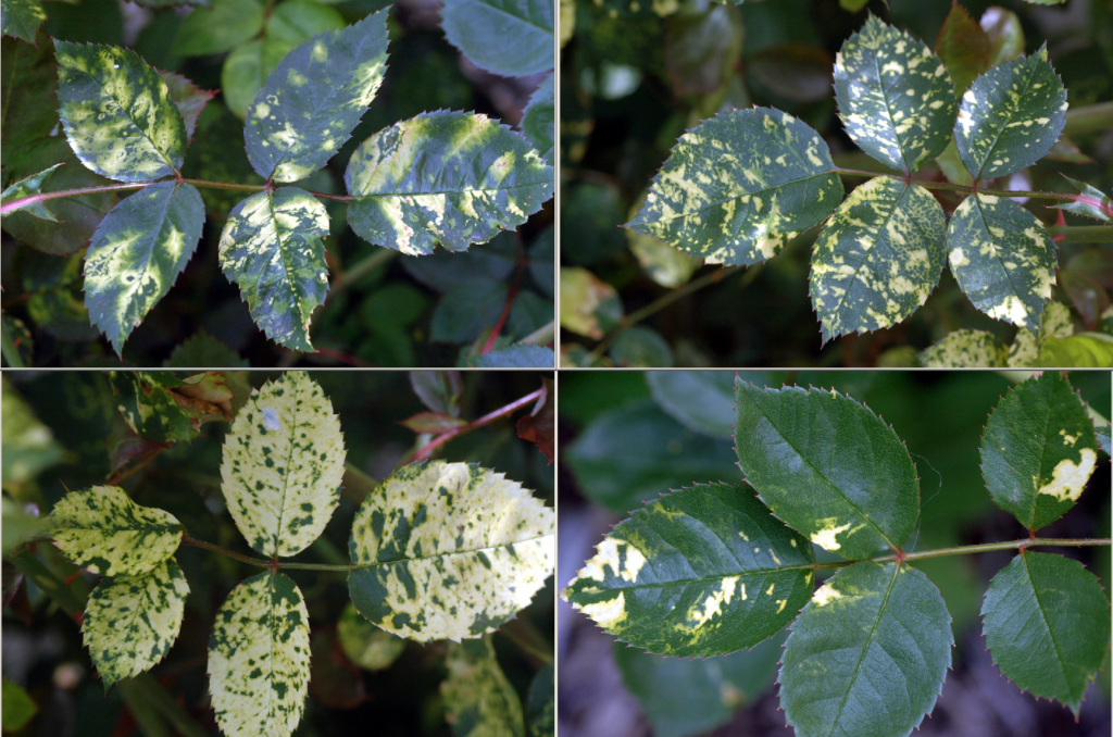 Rose leaves with viruses. Leaves are speckled with pale yellow spots.