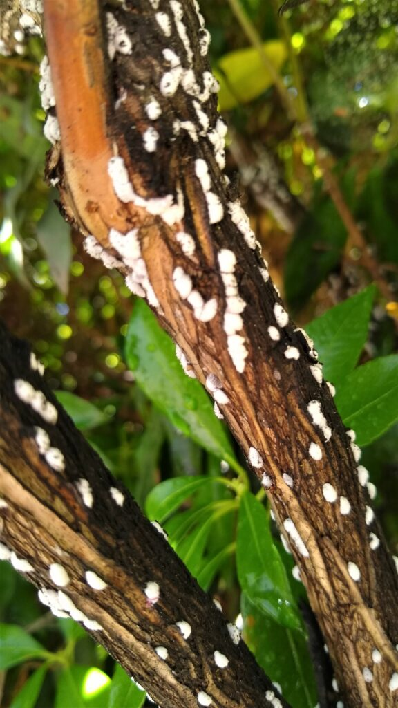 Azalea Bark Scale on branch of shrub.