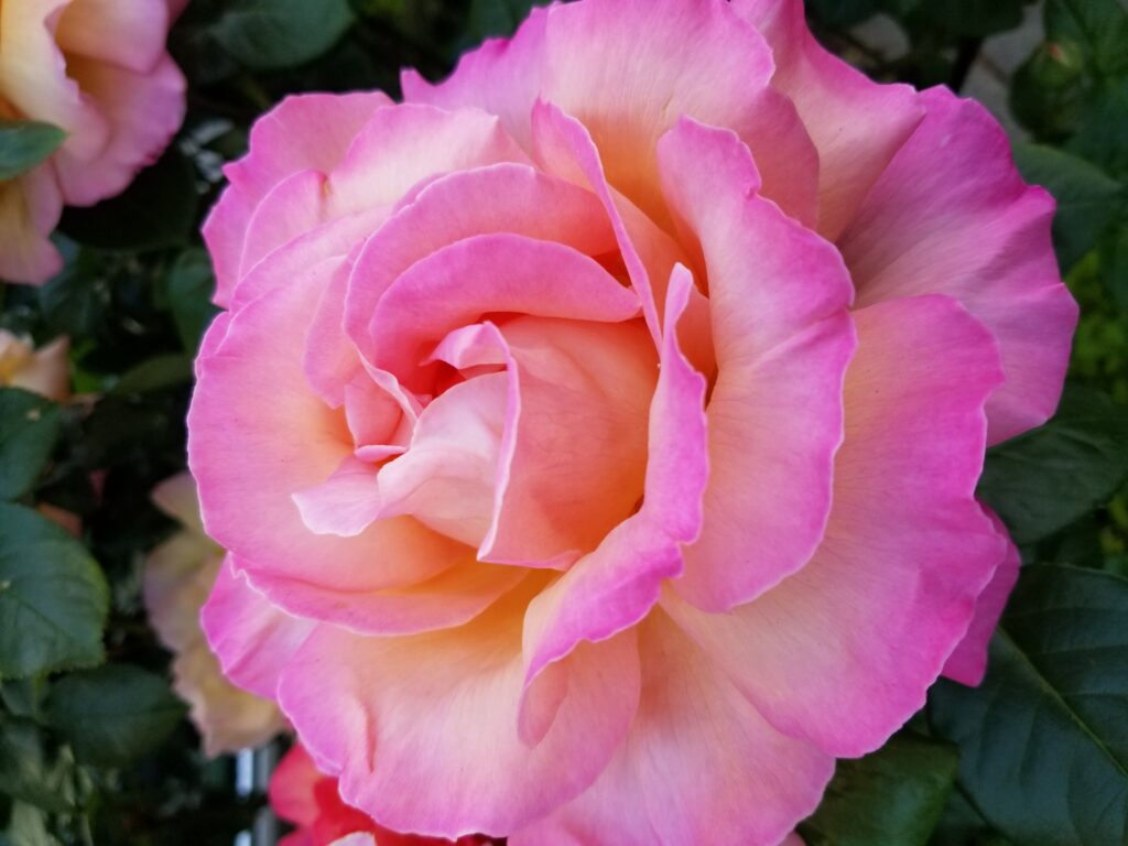 Pink and apricot colored rose.