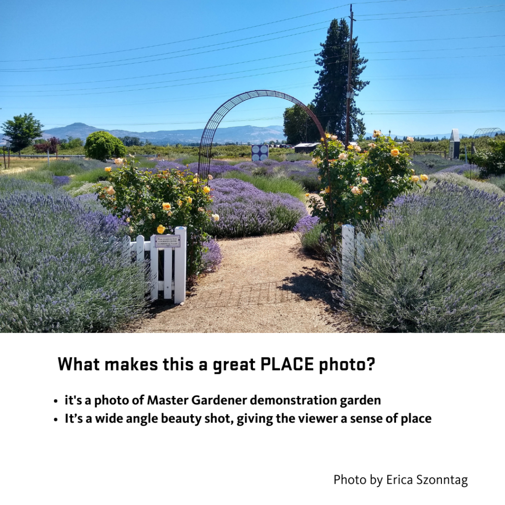Landscape photo of path leading to a field of lavender, with a garden arch flanked by a white picket fence and two yellow rose plants.
